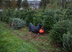 Sholach Christmas trees getting cut for the season