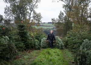 Collecting the cut trees to be netted ready for Christmas delivery