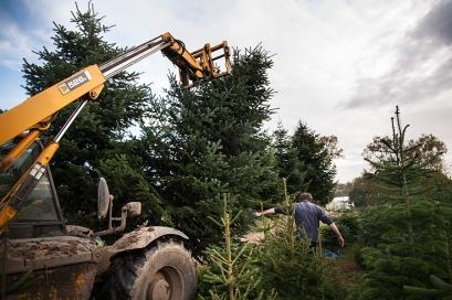 Large Christmas Tree Harvest