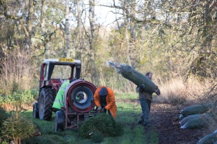 Christmas Tree Harvesting time at Sholach trees essendy Blairgowrie